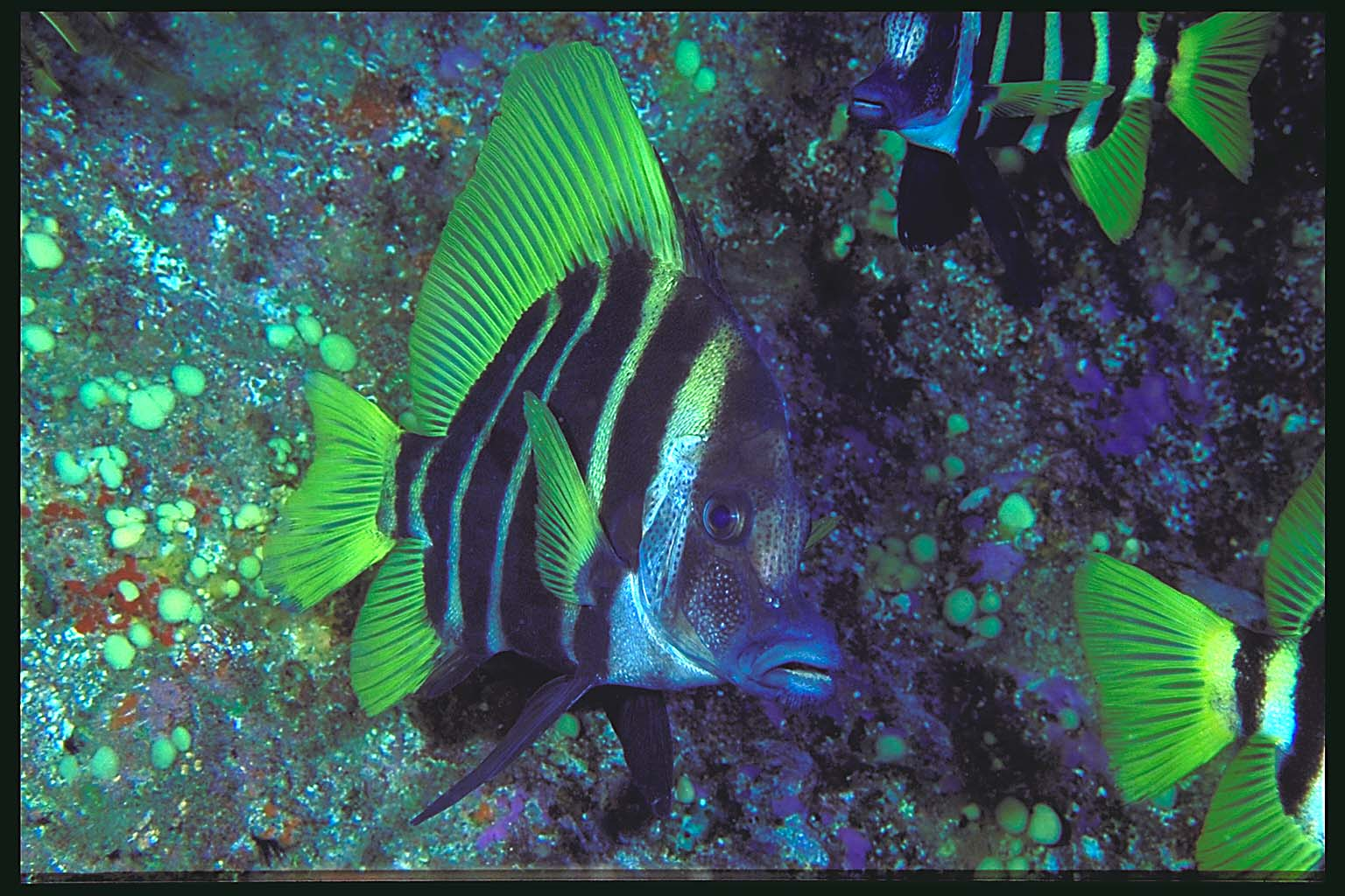 Striped saltwater fish striped saltwater fish fish for Striper fish pictures